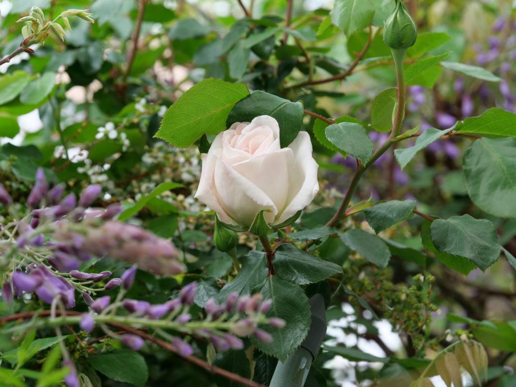 自宅の庭に咲くバラ