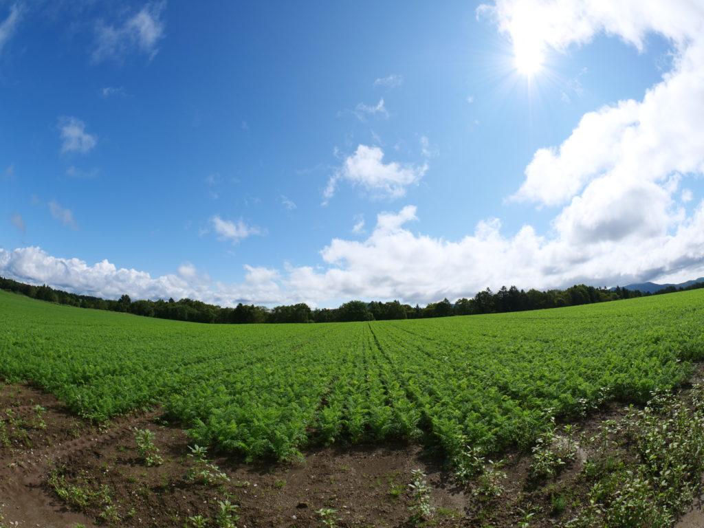 北海道南富良野町のニンジン畑