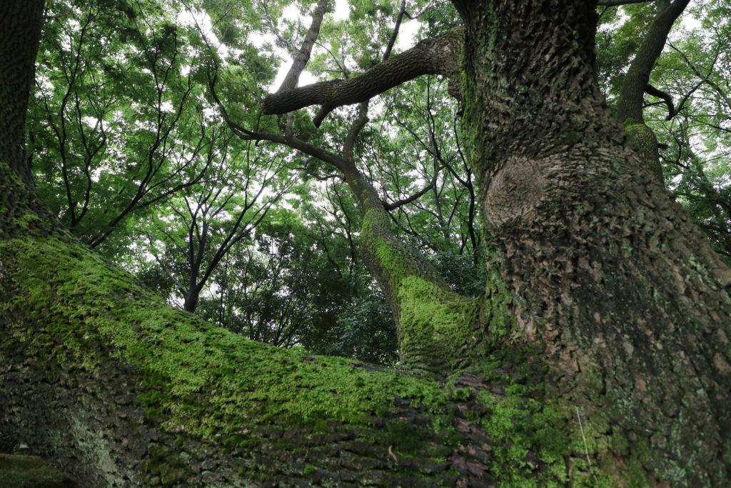 矢田川の近くの大木