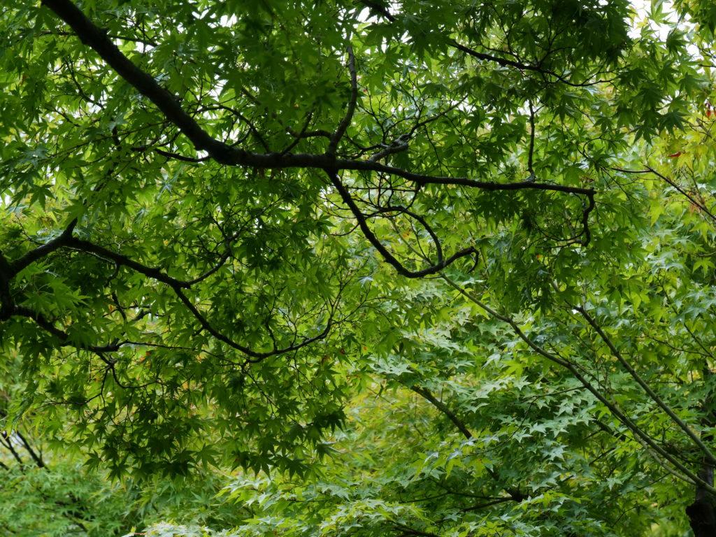夏の京都 鷹峯の紅葉