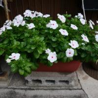 近所の家の鉢植えの花