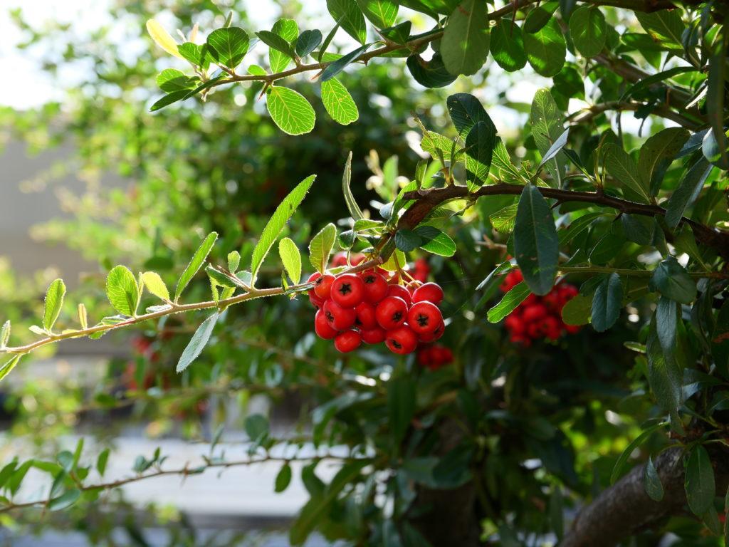 道端の木の実