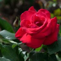 東山公園のバラ