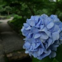 東山公園の紫陽花