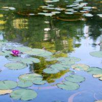 蓮池のハスの花