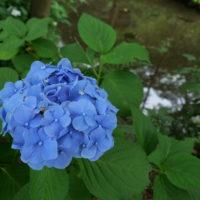 東山植物園の紫陽花