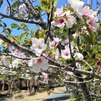 伊良湖岬の桜