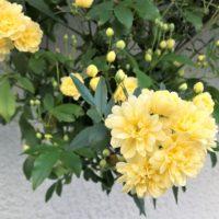 モッコウバラ(木香茨)