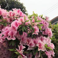 近所のツツジの花