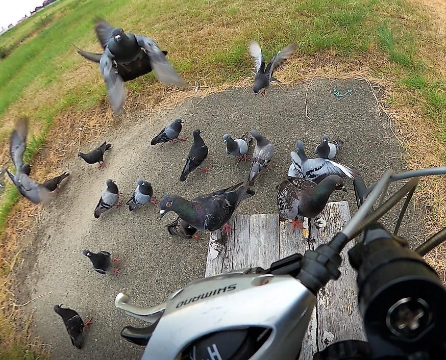 矢田川の鳩