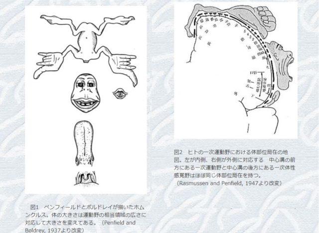 大脳の機能地図、脳内の小人
