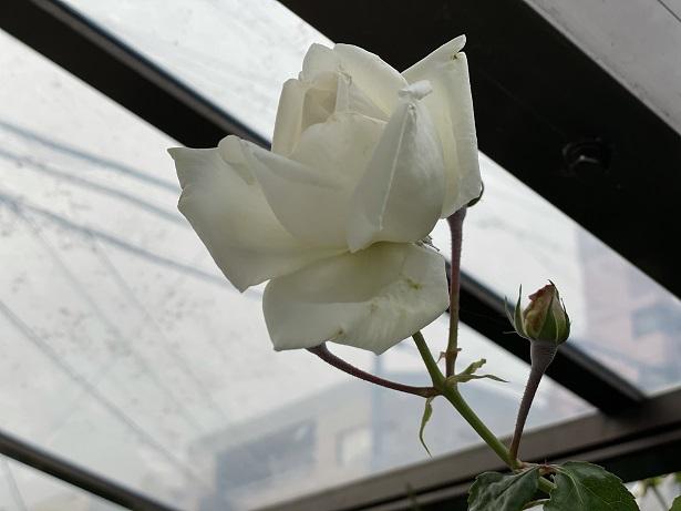 庭のバラの花